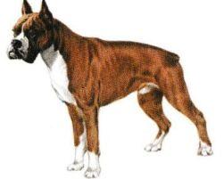 Boxer magnétiseur guérisseur animaux