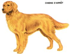 Golden Retriever 001