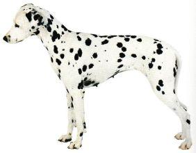 Dalmatien.  Guérisseur- animaux-magnétiseur Jacques