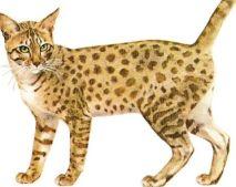 Le Mau Égyptien Magnétiseur animaux Guérisseur Jacques