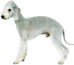 Bedlington Terrier Magnétiseur Guérisseur Jacques