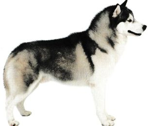 Husky Sibérien Jacques magnétiseur guérisseur animaux