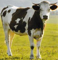 Vache Simmental. Jacques Guérisseur Animaux Magnétiseur