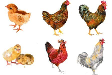 images poules 001
