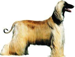 Levier Afghan Jacques magnétiseur guérisseur animaux.